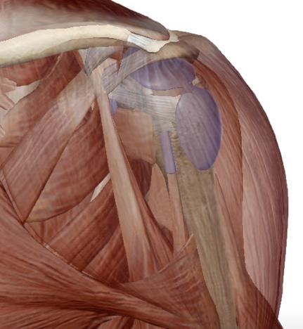vista anatomica antero-laterale dalla spalla. Il muscolo deltoide è in trasparenza per consentire la visualizzazione della borsa subacromiale in viola chiaro.